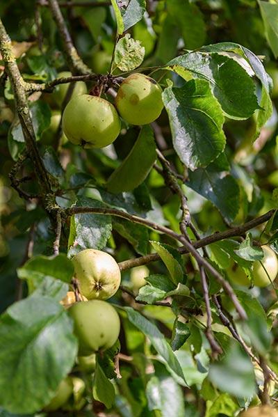 Nakuk: Äpfel im eigenen Garten